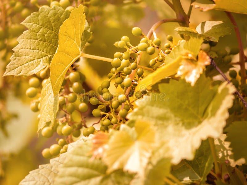 Gronowy liścia kształt gronowego winogradu tekstura zdjęcia royalty free