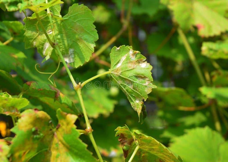 Gronowy Proszkowaty pleśnienie Proszkowaty pleśnienie jest fungal chorobą który wpływa szerokiego zakres rośliny Winorośli chorob obraz stock