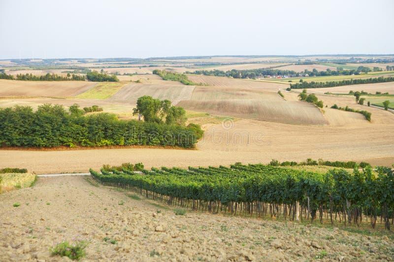 gronowy winograd obrazy stock