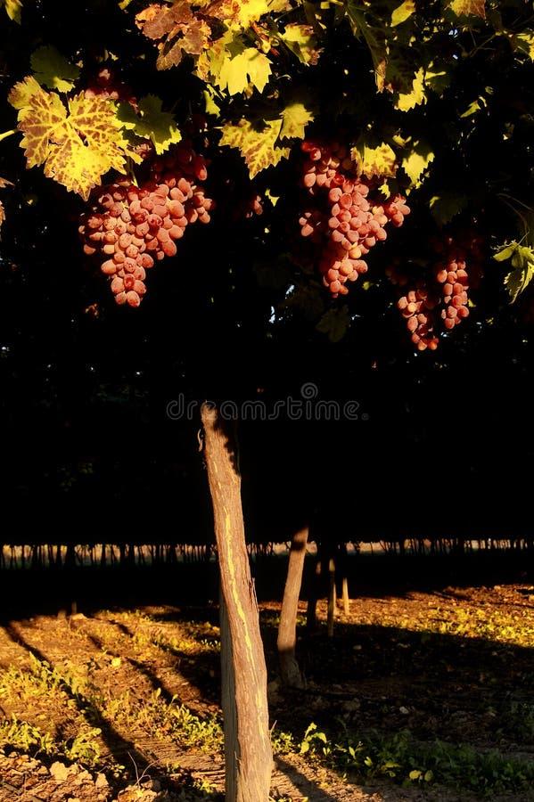 gronowy winograd zdjęcia royalty free