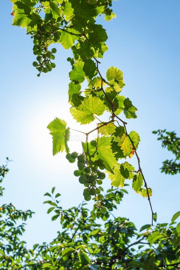 gronowy winograd z niebieskim niebem i słońcem na tle obrazy royalty free