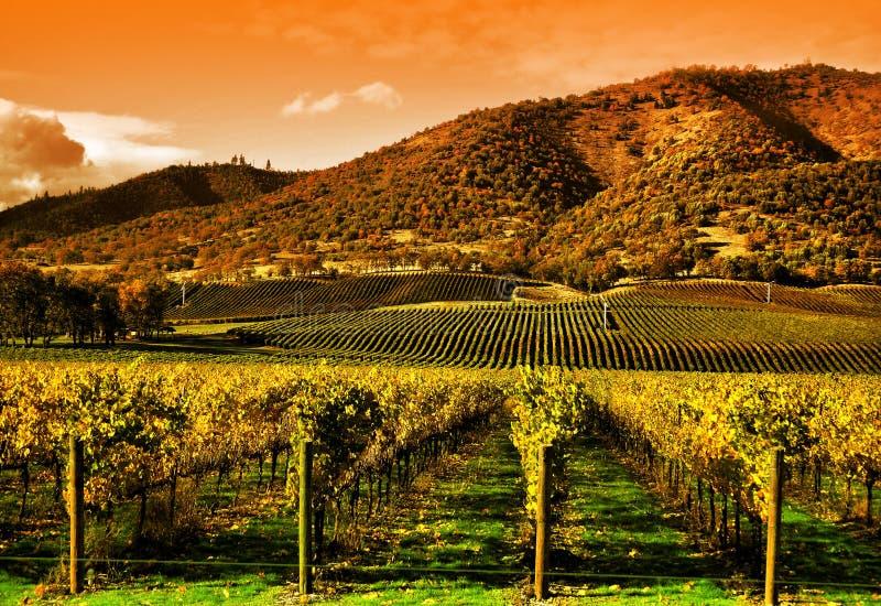 gronowy zmierzchu winogradów winnica obraz stock