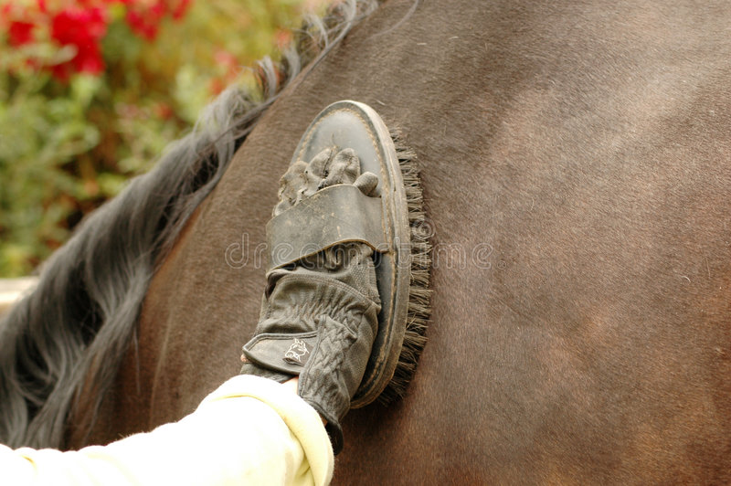 Groom cleans horse stock photo