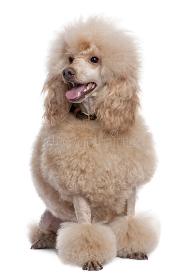 Groomed apricot poodle (2 years old) stock images