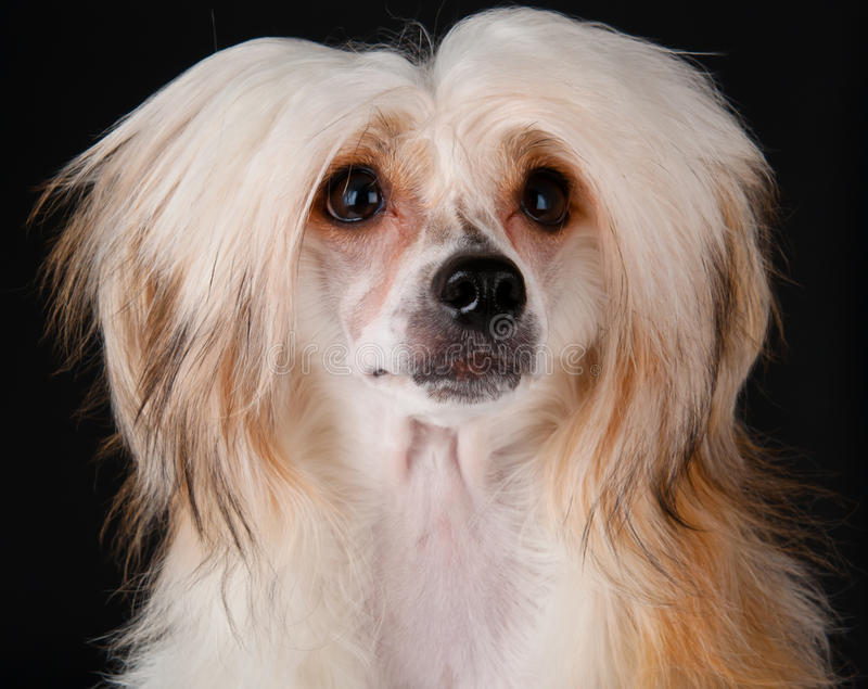 Download Groomed Chinese Crested Dog Stock Image - Image: 17923331