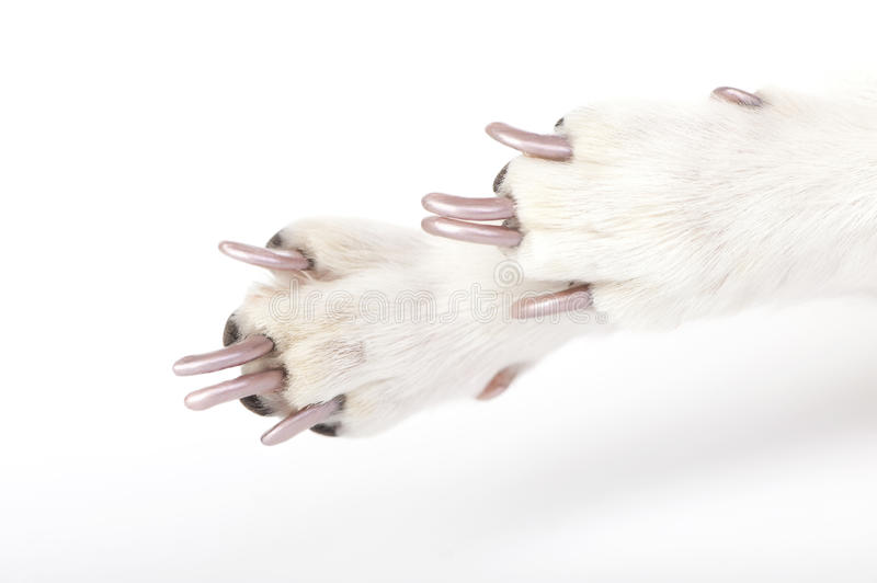 Groomed Dog Paws With Manicured Claws Stock Image