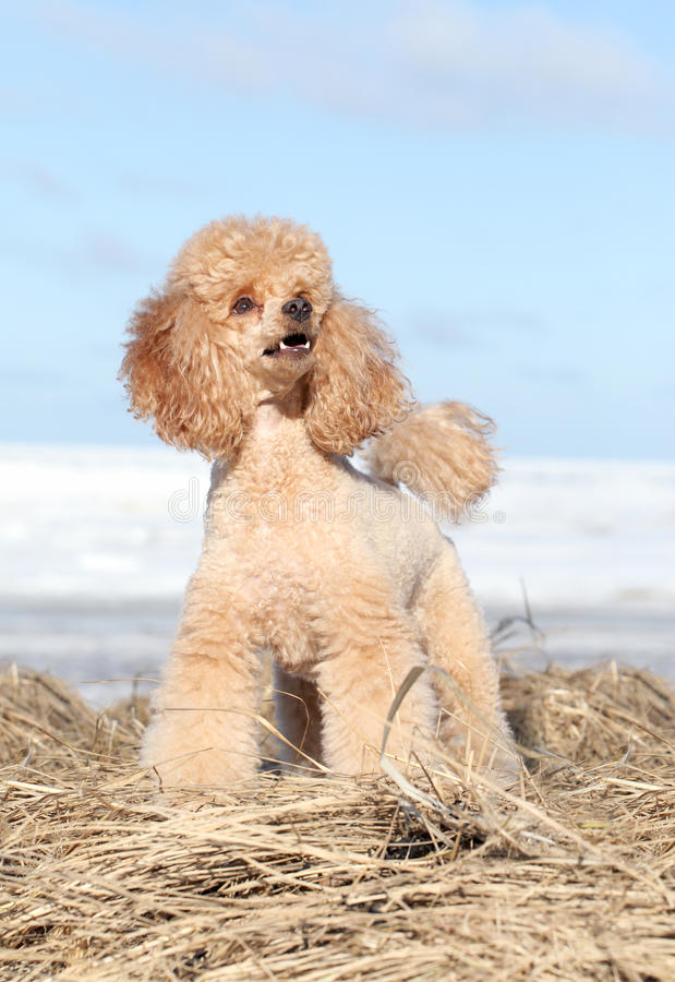 Apricot poodle royalty free stock photography