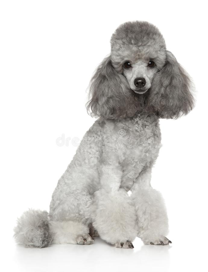 Groomed gray Poodle on white royalty free stock image