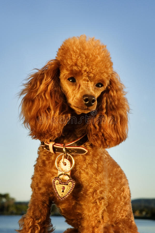 Groomed poodle royalty free stock photo