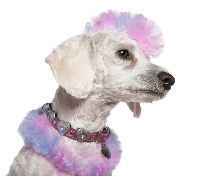Download Groomed Poodle With Pink And Purple Fur And Mohawk Stock Photo - Image: 14096108