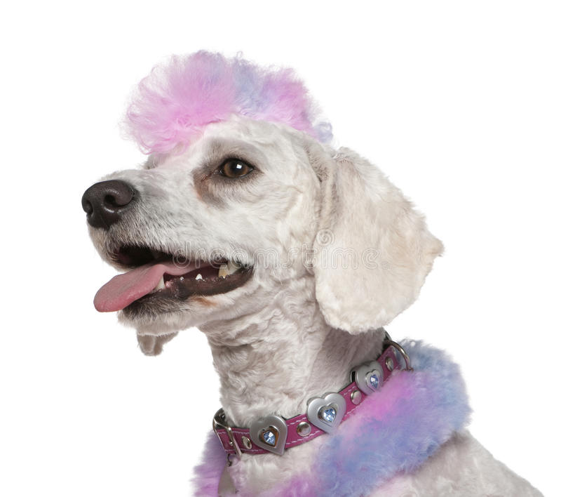 Groomed poodle with pink and purple fur and mohawk. 1 year old, in front of white background stock image