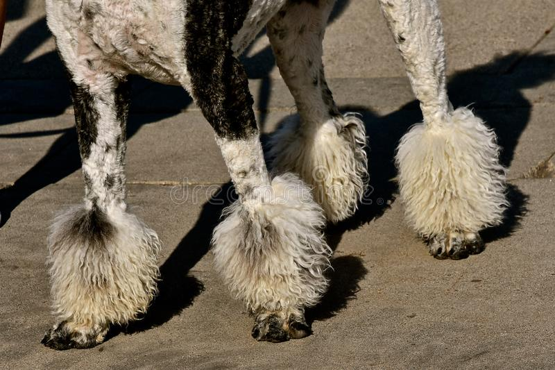 Groomed poodle with puffs on the legs stock photos