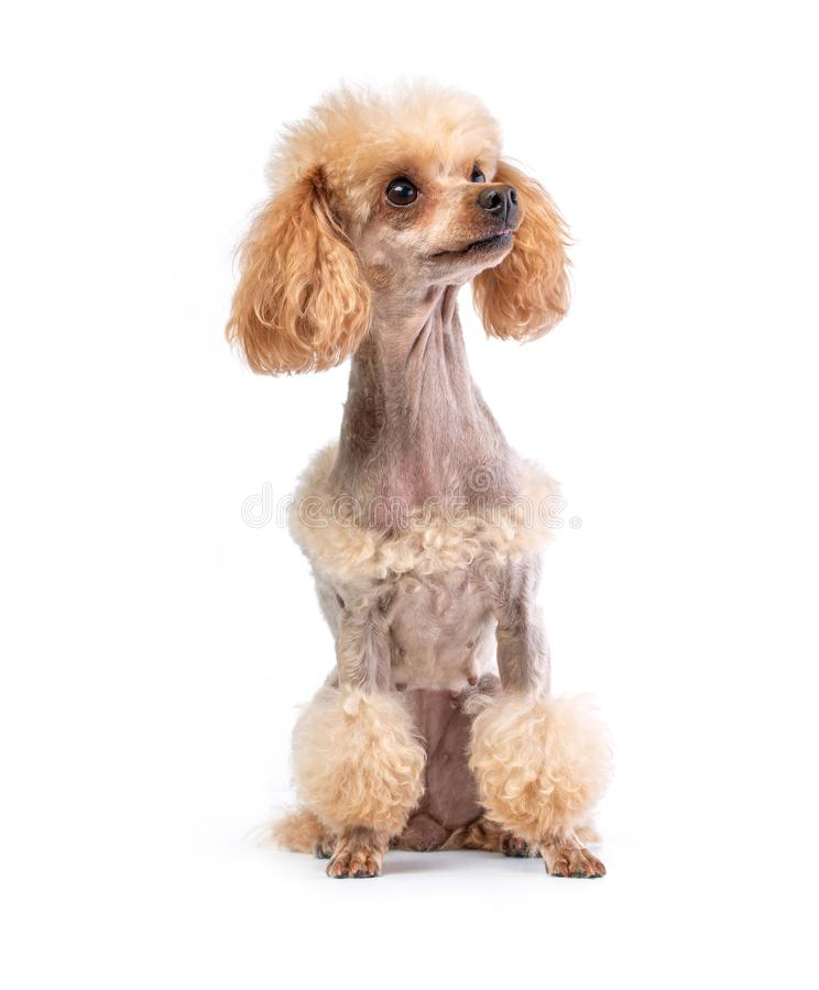 Groomed Toy Poodle posing stock image