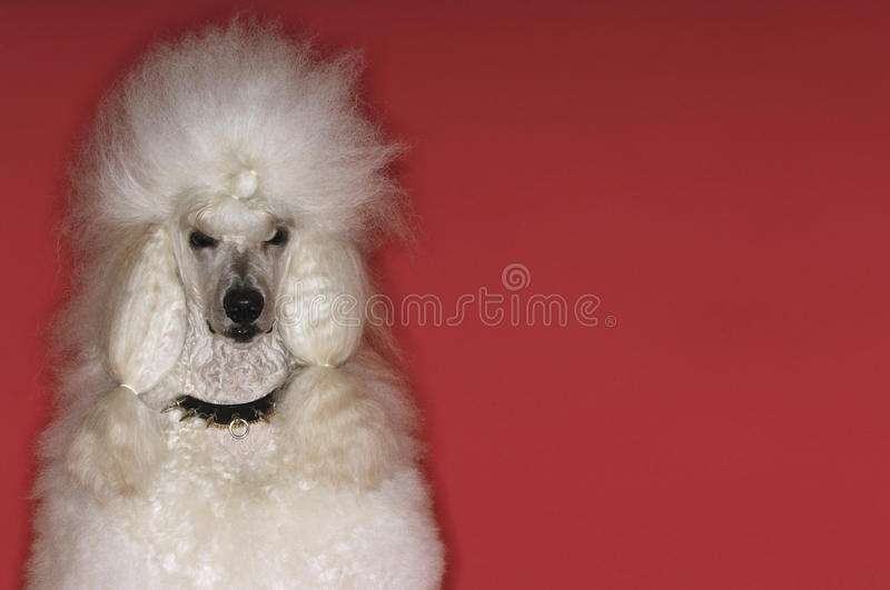 Groomed White Standard Poodle. Closeup portrait of groomed White Standard Poodle on red background royalty free stock images