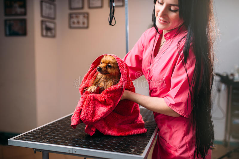 Groomer любимчика обтирает маленькую собаку с полотенцем стоковое фото rf