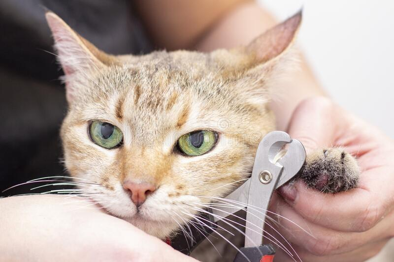 Groomer cuts cats claws. Salon for animals. Beautiful cat in a beauty salon. Animal Grooming royalty free stock photography