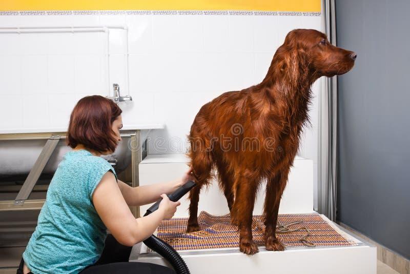 Groomer drying fur of dog royalty free stock photo