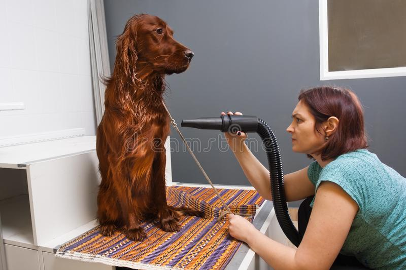 Groomer drying hair of dog at salon stock images