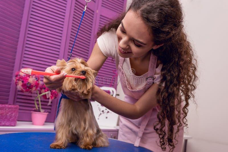 Groomer profesional que sostiene el cepillo de dientes y que cepilla los dientes del pequeño perro en salón del animal doméstico fotos de archivo