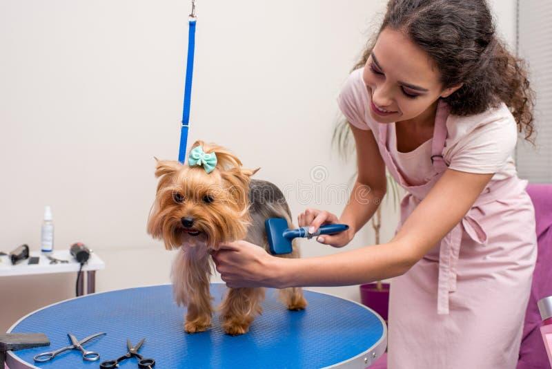 Groomer profesional que sostiene el peine y que prepara el pequeño perro lindo en salón del animal doméstico imagen de archivo libre de regalías