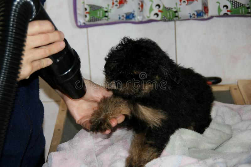 The grooming of the puppy dog. The grooming of the bicolor breed puppy royalty free stock images