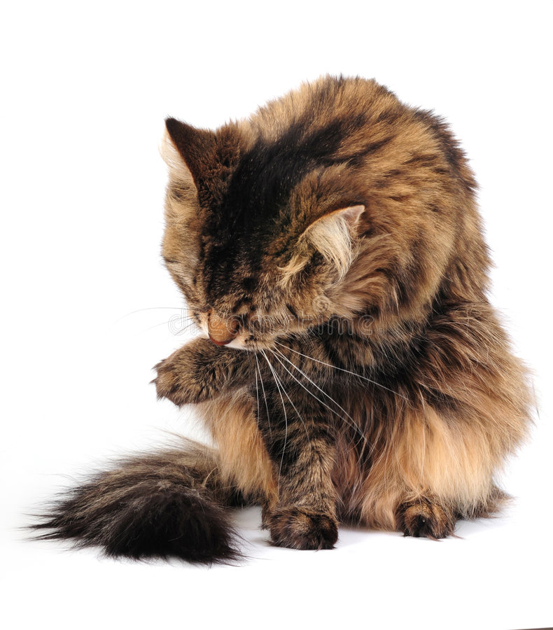 Grooming cat. Grooming tabby cat on thw white background stock photos