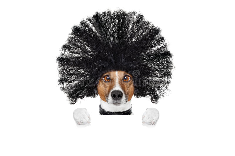 Grooming dog at the hairdressers. Bad hair day dog ready to look beautiful at the wellness spa salon, isolated on white background, behind white banner or stock photography
