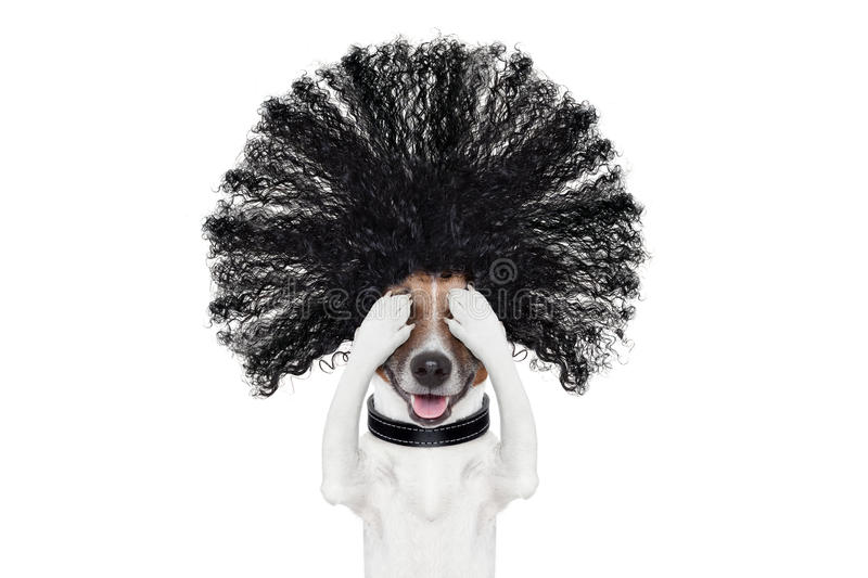 Grooming dog at the hairdressers. Bad hair day dog ready to look beautiful at the wellness spa salon, isolated on white background, hairs gone wild stock image