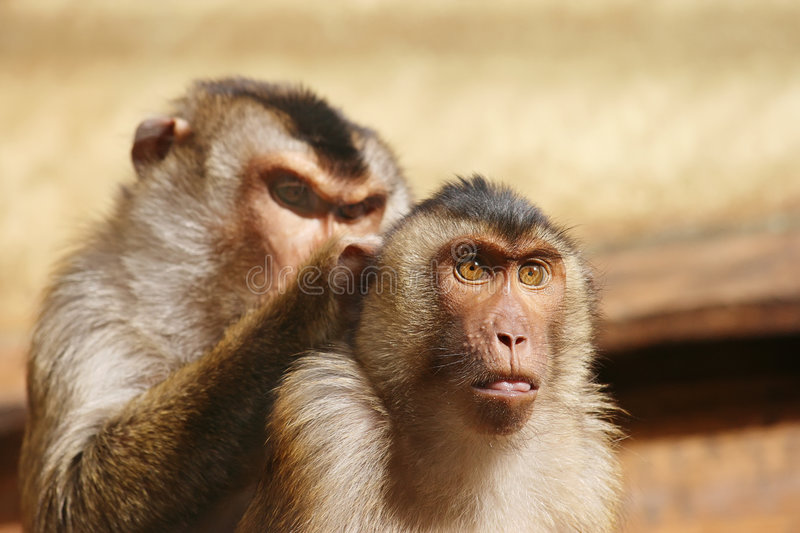Grooming Monkeys Royalty Free Stock Images