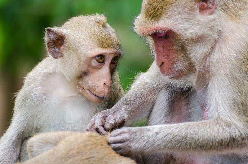 Grooming monkeys stock images