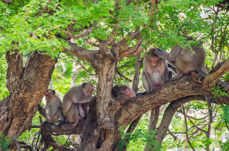 Grooming monkeys stock photography