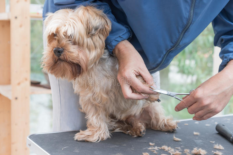 Grooming paws of Yorkshire terrie royalty free stock photo