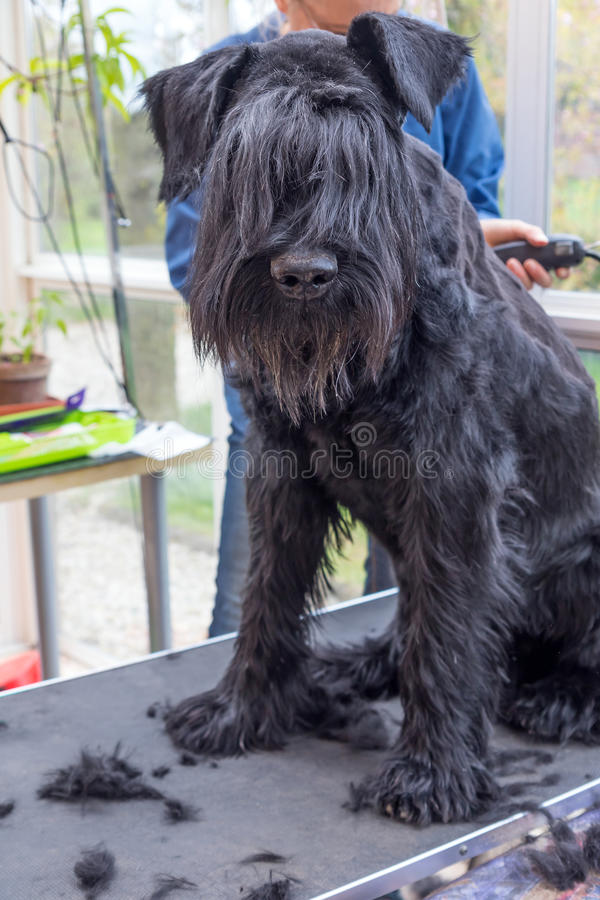 Grooming the ridge of the Schnauzer dog. Vertically. Grooming the ridge of the Giant Black Schnauzer dog. The dog is sitting on the table. All potential royalty free stock photos