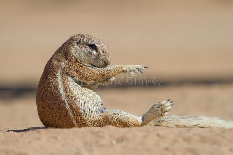 Grooming Squirrel Royalty Free Stock Photos
