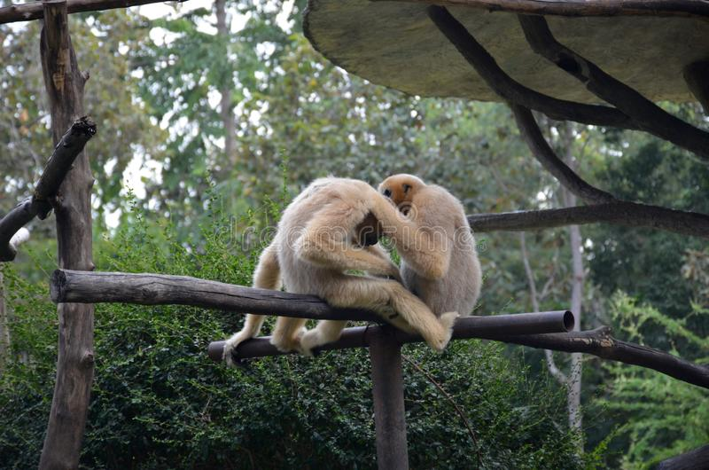 Grooming of two white gibbons sitting on a tree branch in a zoo surrounded by greenery royalty free stock photography