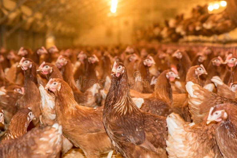 Groot aantal kippen op een gevogeltelandbouwbedrijf royalty-vrije stock foto