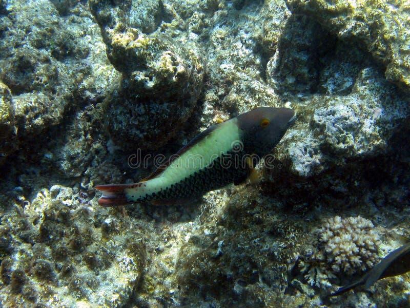Groot Barrièrerif, Onderwater stock afbeelding