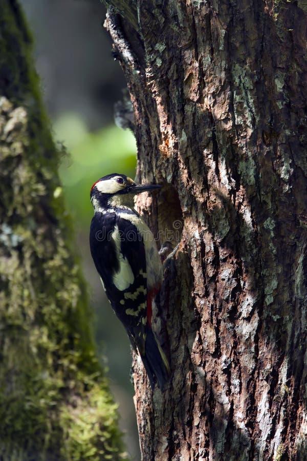 Groot-bevlekte spechten die youngs bij het nest voeden royalty-vrije stock afbeelding