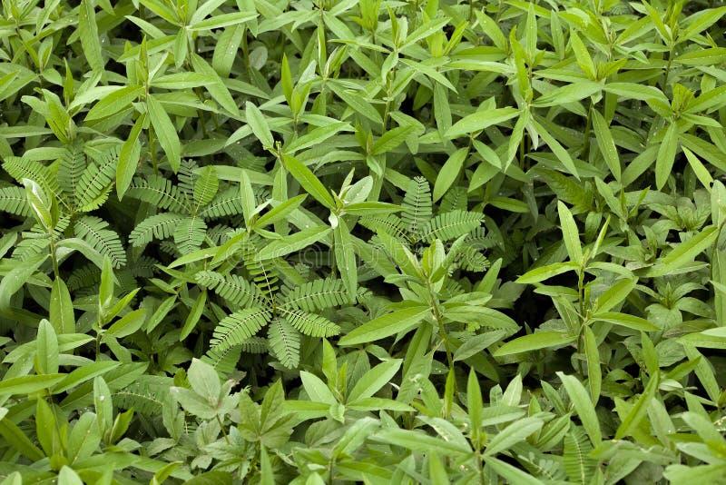 Download Groot Bladgras In Landbouwgrond Stock Afbeelding - Afbeelding bestaande uit groen, gras: 54076003