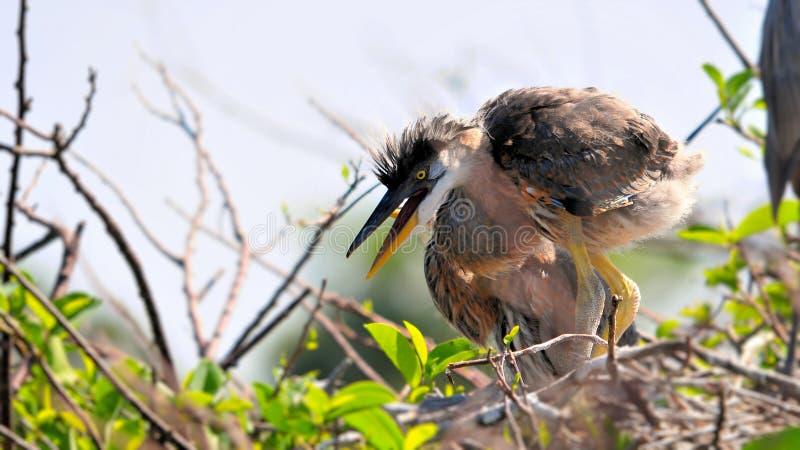 Groot blauw reigerkuiken in nest stock foto