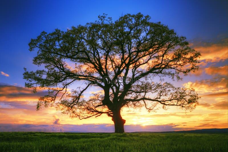 Groot boomsilhouet op het gebied, zonsondergangschot royalty-vrije stock afbeeldingen