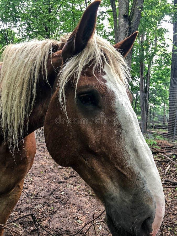 Groot bruin paard bij lokale dierentuin royalty-vrije stock foto's
