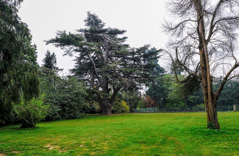 Groot Cedar Tree dat in het Engelse platteland in de lente wordt geplaatst stock fotografie