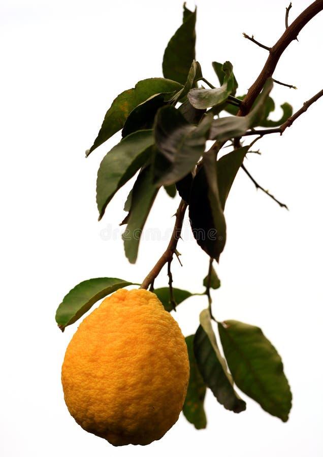 Groot citroenfruit royalty-vrije stock afbeelding