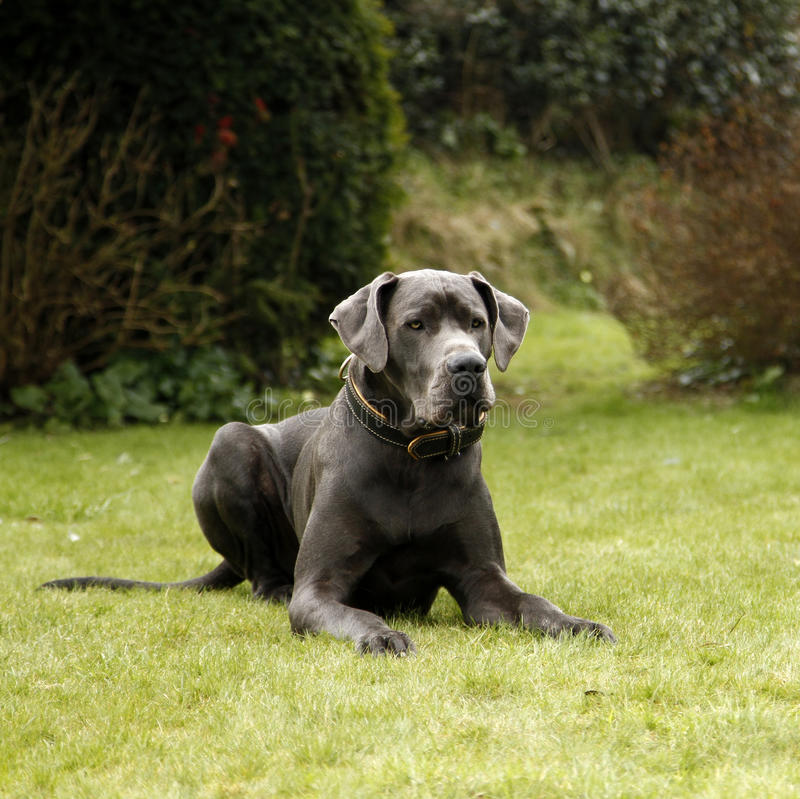 Groot Dane Dog stock foto's