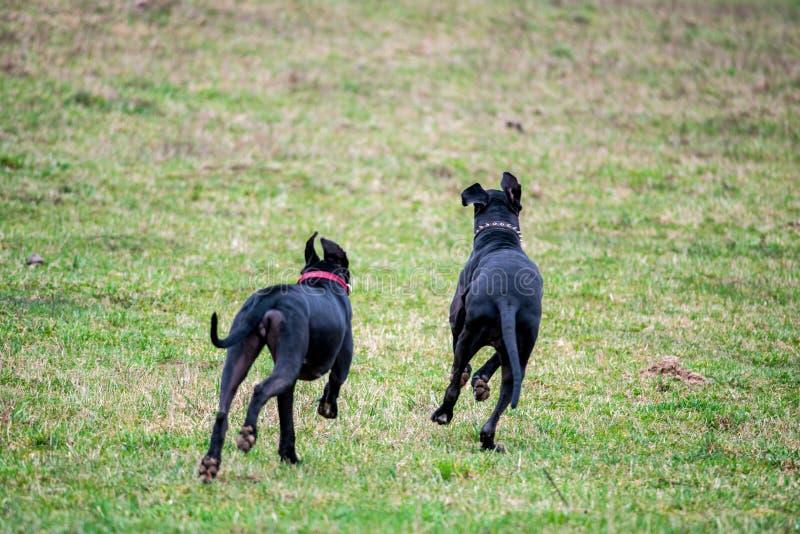 Groot Dane Dogs royalty-vrije stock foto