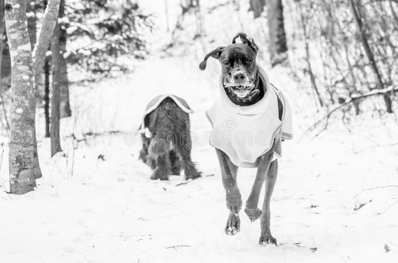 Groot Dane Running stock afbeelding