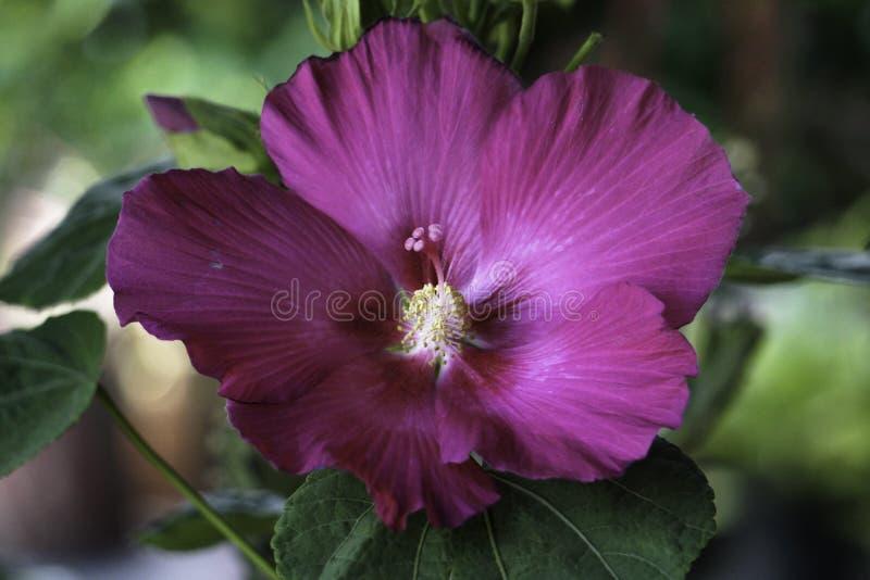 Groot de bloemhd Beeld van de close-up Donkerroze Hibiscus stock fotografie