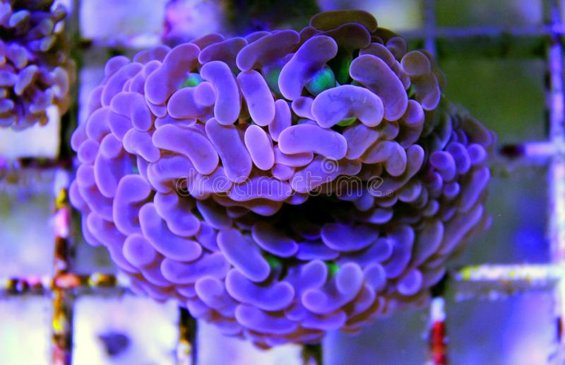 Groot de Poliep Steenachtig koraal van Euphylliaspecies in het aquarium van de zoutwaterertsader royalty-vrije stock foto's