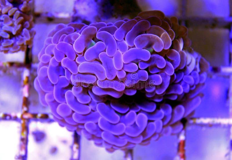 Groot de Poliep Steenachtig koraal van Euphylliaspecies in het aquarium van de zoutwaterertsader royalty-vrije stock fotografie